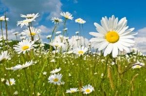 daisy-field