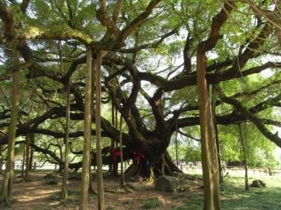 235613-thousand-year-old-tree-yangshuo-china