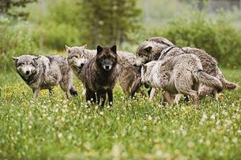 gray-wolves-black-coat-520