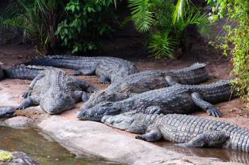 image_2203e-Nile-crocodiles